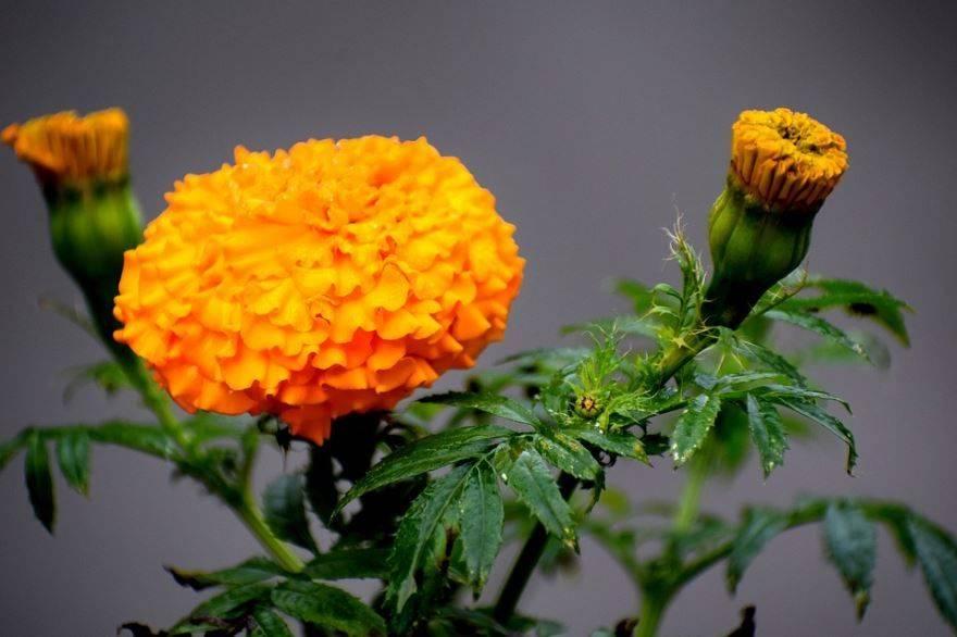 Лечебные свойства и противопоказания бархатцев