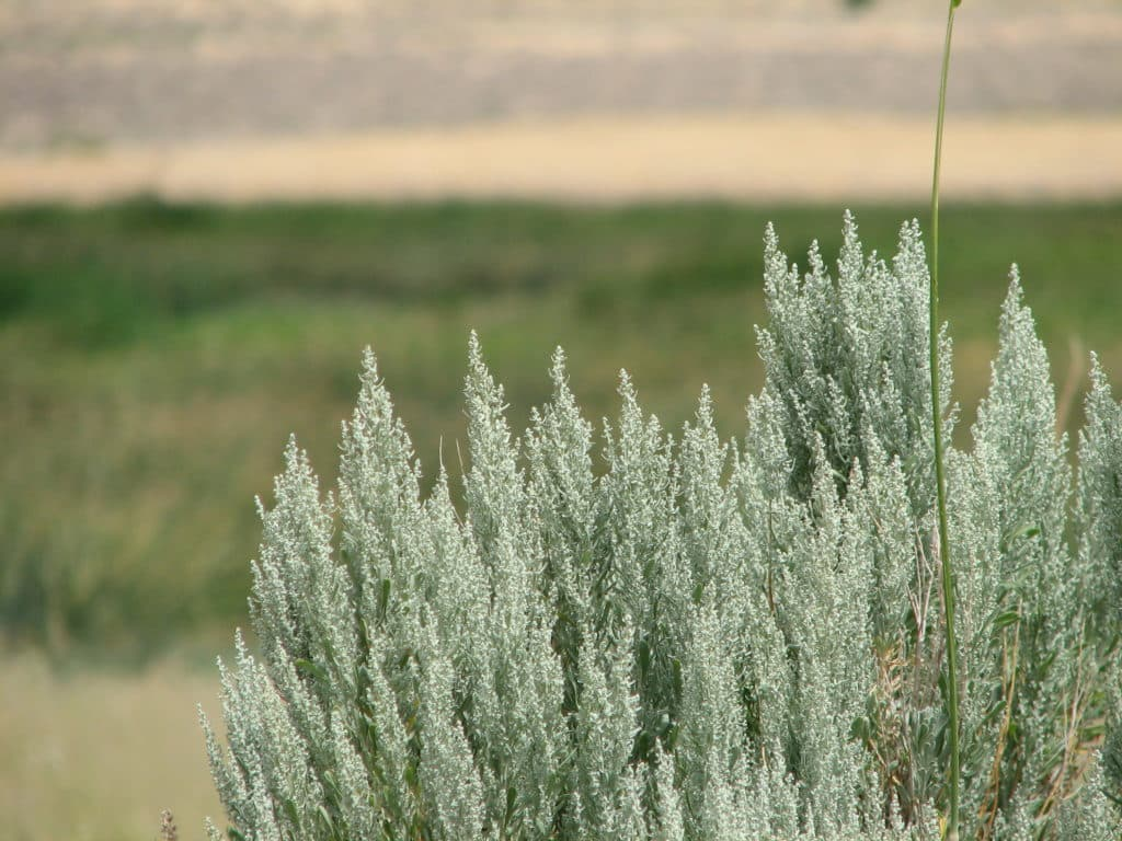Трава ковыль лечебные свойства