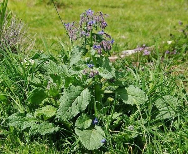Огуречная трава польза и вред
