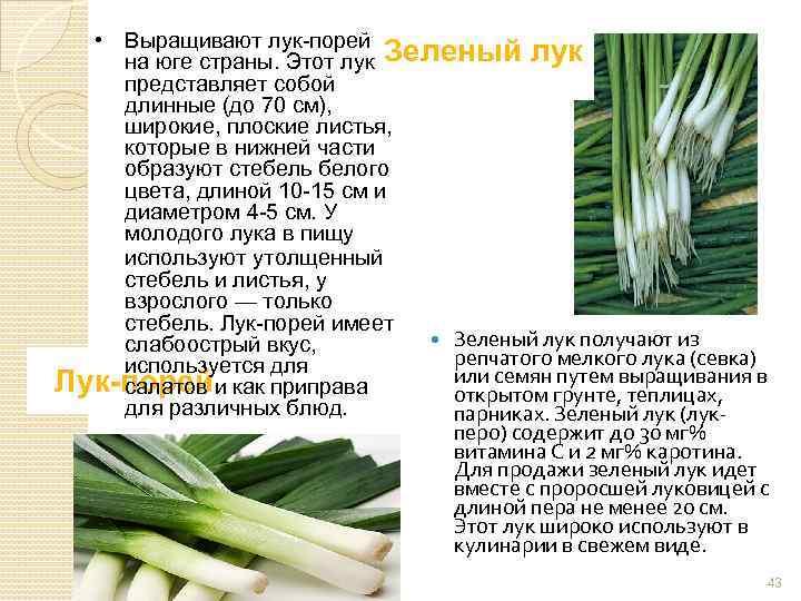 Лекарство с огорода – лук-порей. свойства, польза и вред для организма