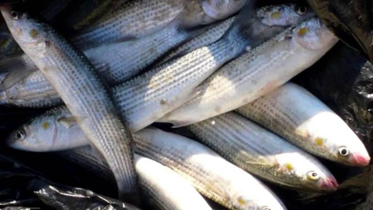 Кефаль: что это за рыба, где она водится и как ее готовить