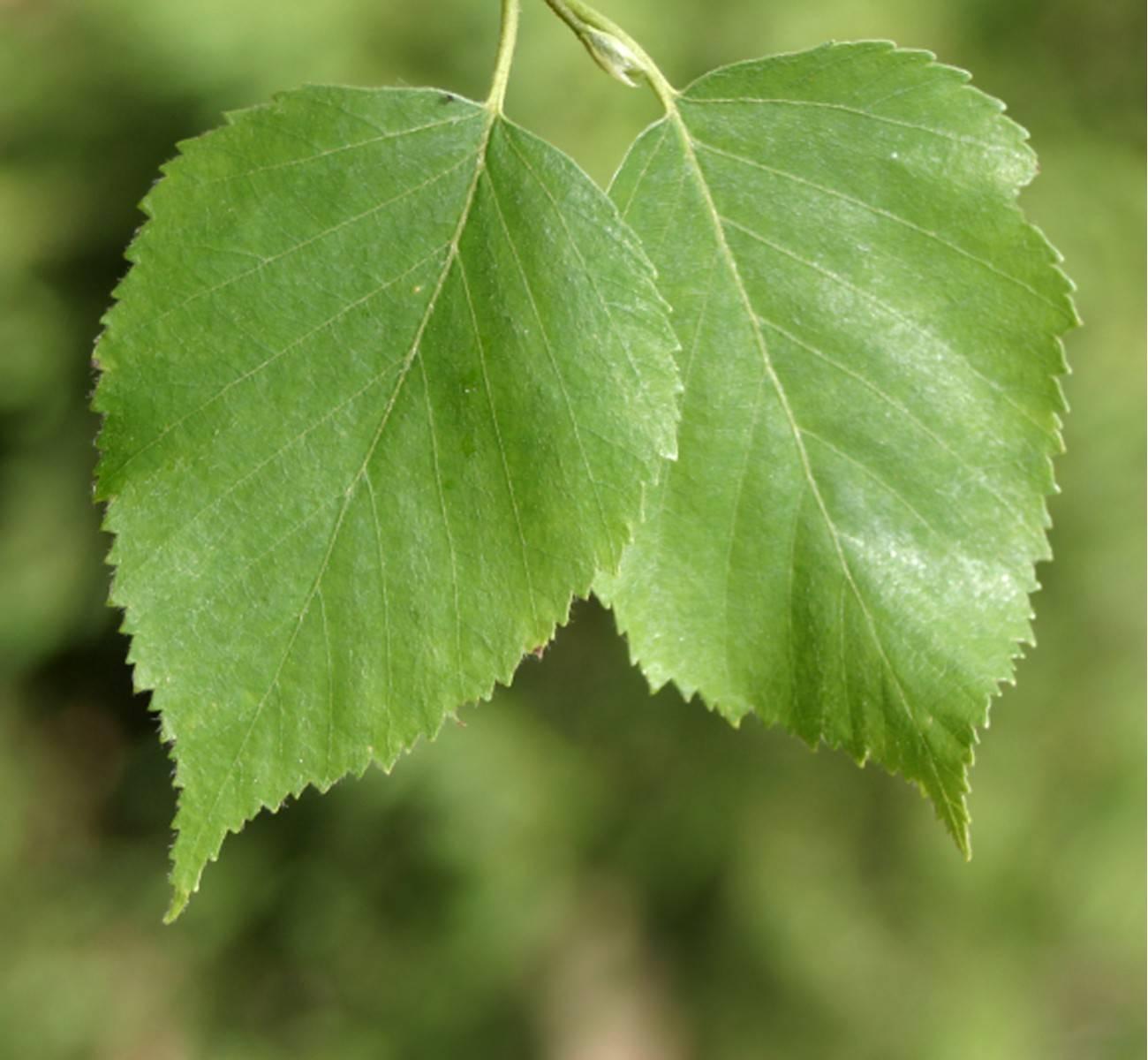 Березовые листья - лечебные свойства, применение и противопоказания