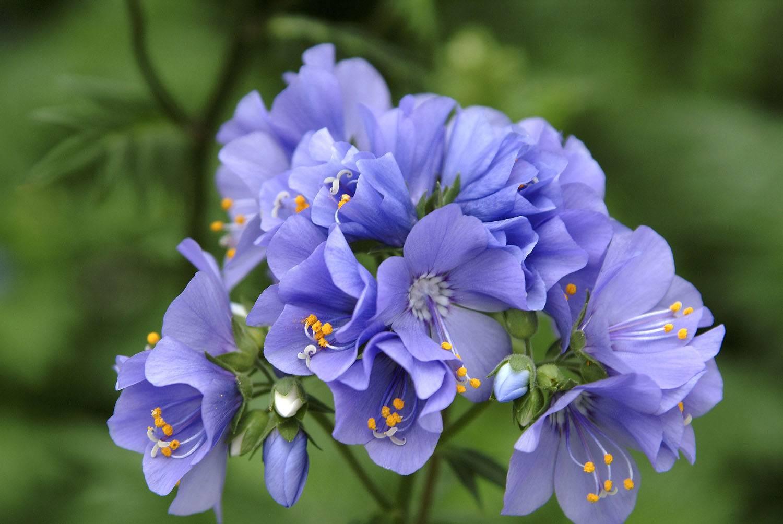Синюха голубая – целебные свойства и противопоказания
