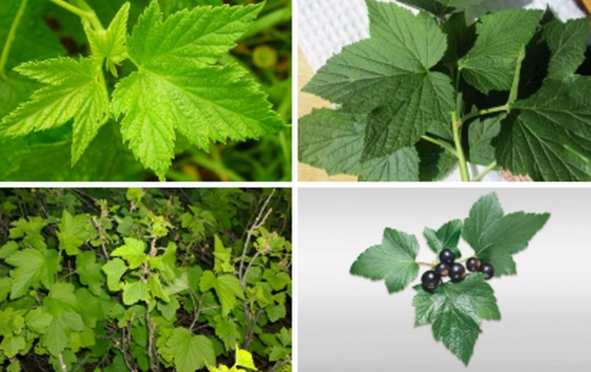 Полезные свойства и вред от потребления листьев смородины
