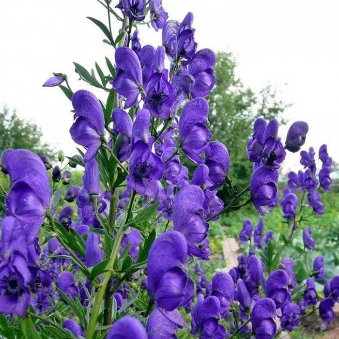 Растение борец: описание, лечебные свойства, применение
