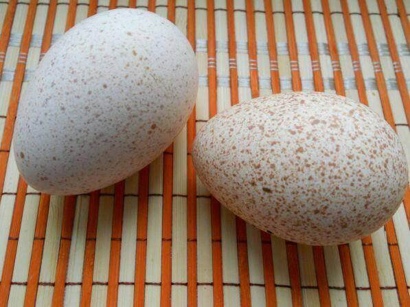 Вкусные и питательные — индюшиные яйца: расскажем о пользе и вреде непривычного продукта