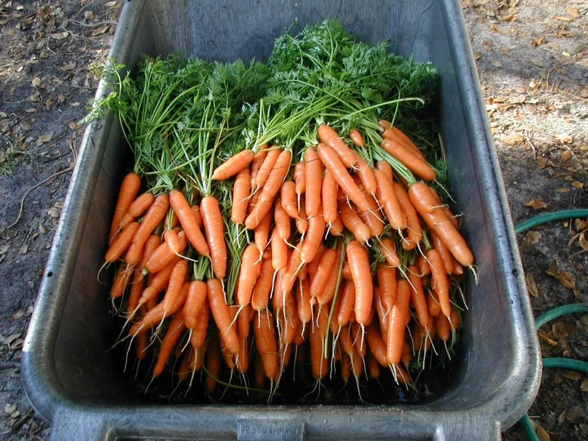 Вяленая морковь или цукаты из моркови в домашних условиях: в духовке и на воздухе