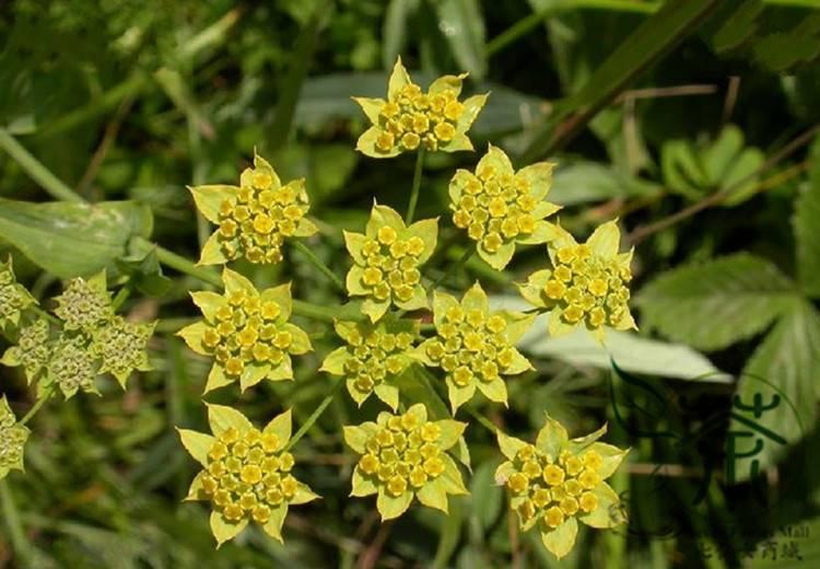 Володушка золотистая: лечебные свойства и противопоказания растения