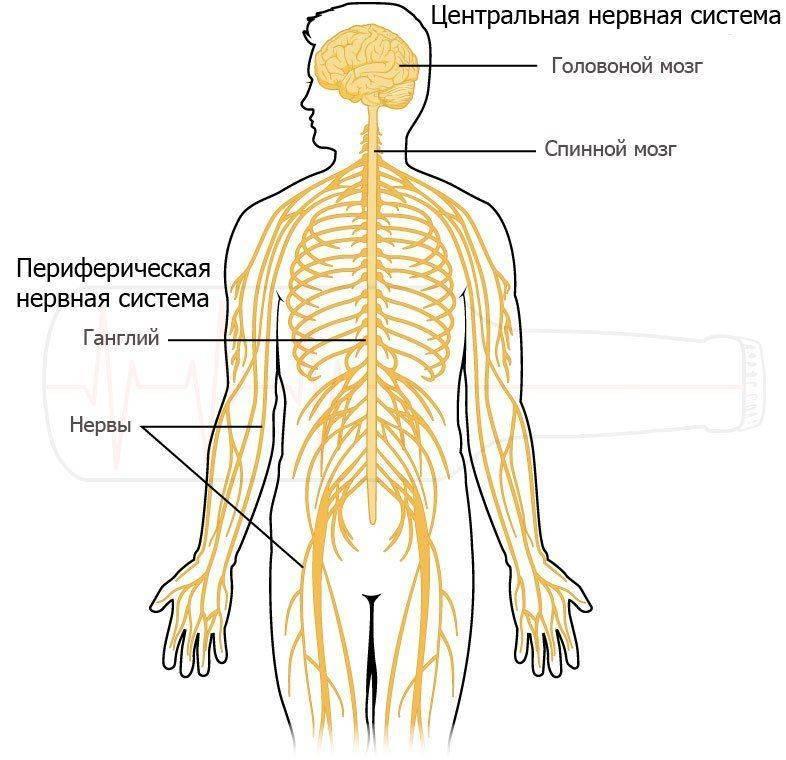 Центральная и переферическая нервные системы