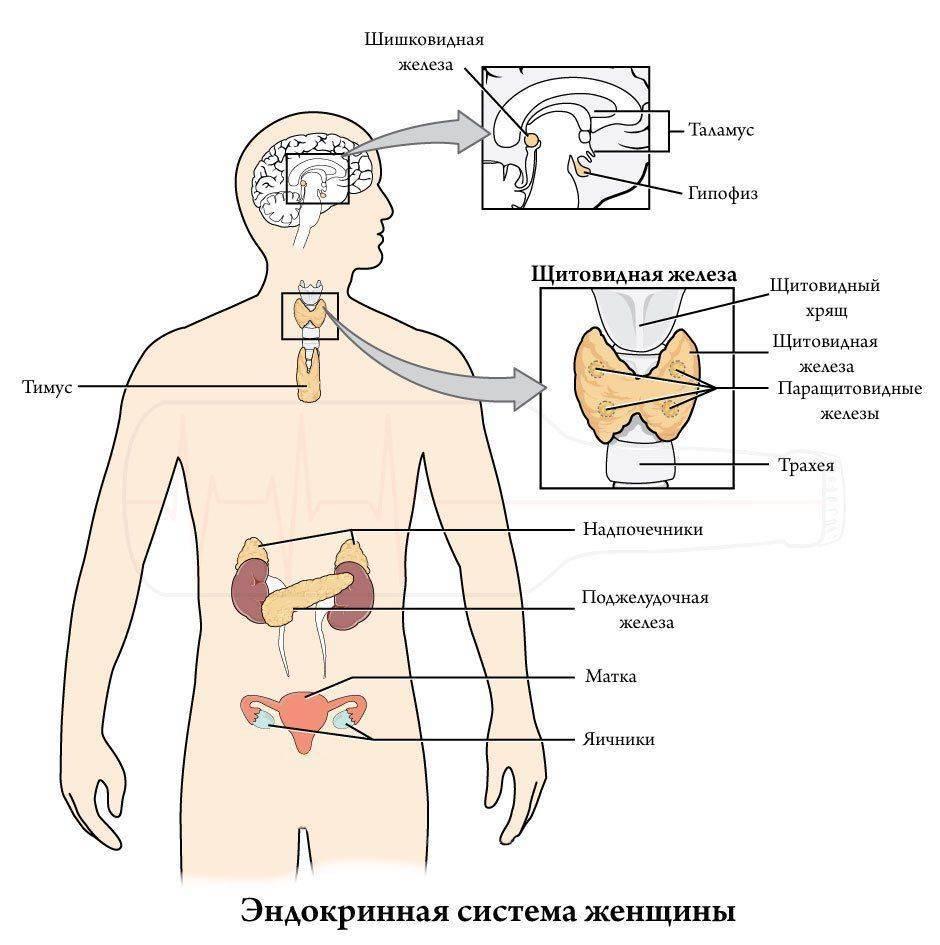 Эндокринная система: строение