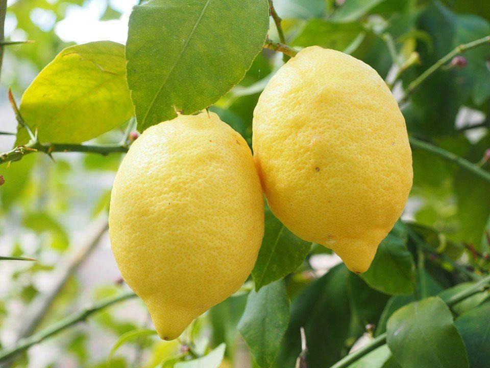 Лимон исключается
