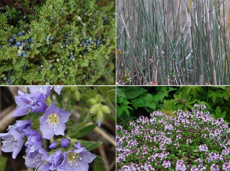 Можжевельник и другие растения