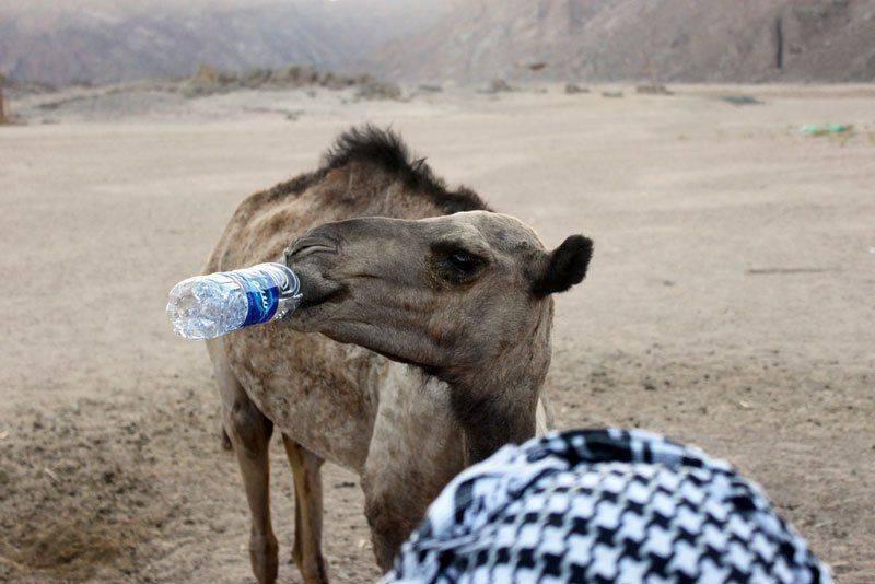 Верблюд пьет