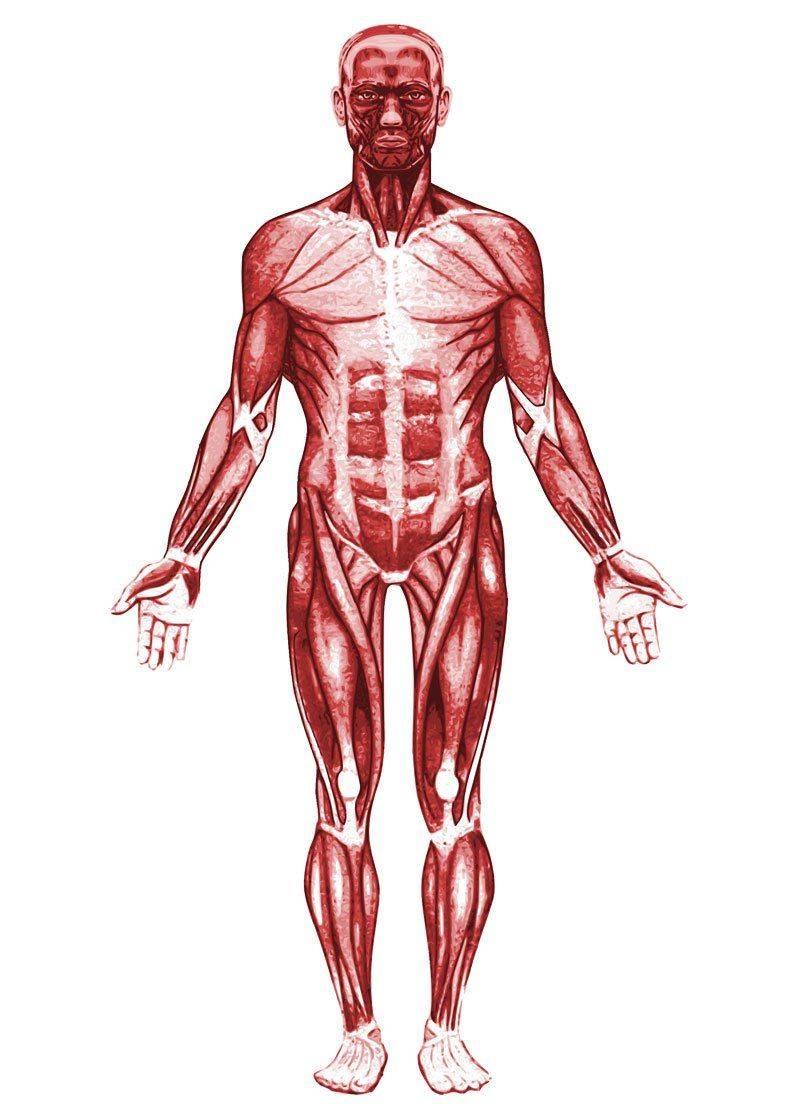 элементы мышцы человека в картинках кролика отнимутся финансы