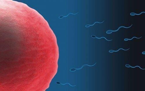 Спермии плывут к яйцеклетке