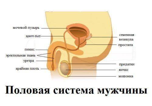 Мужской организм