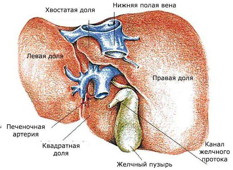 Что такое биопсия печени?