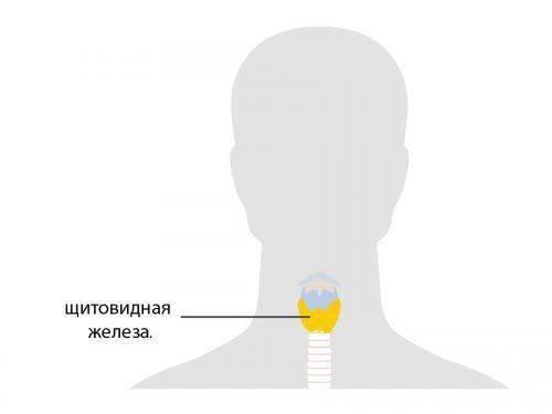 Где расположена щитовидная железа?