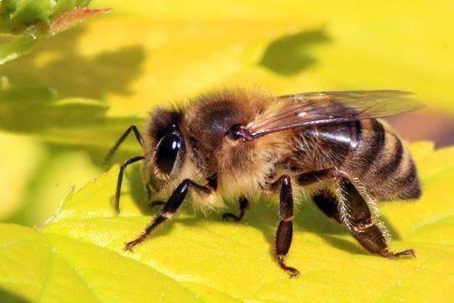 Пчела собирает мёд