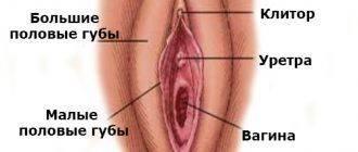 Внешние половы органы женщины