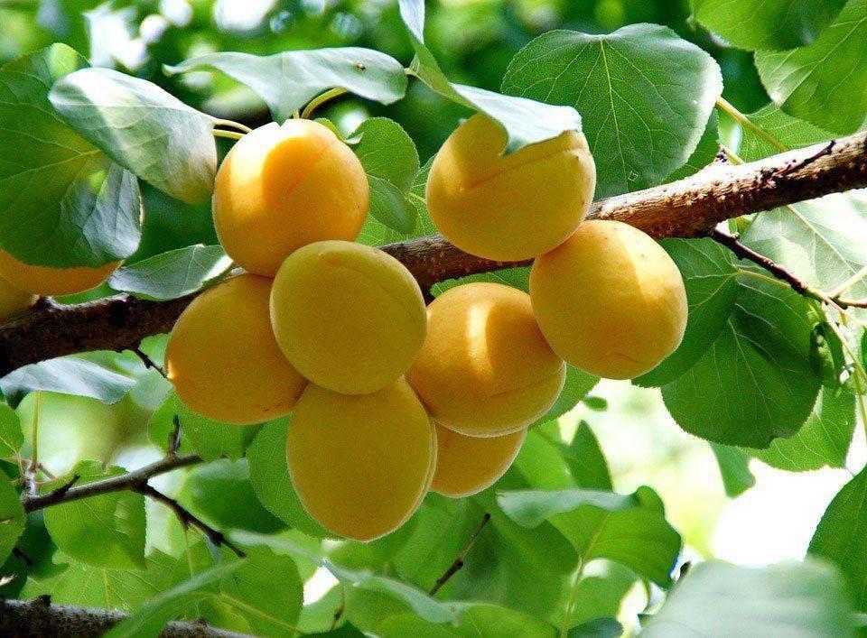 Аллергия на абрикос