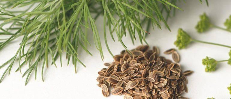 Семена укропа