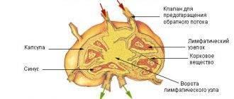 Строение лимфатического узла