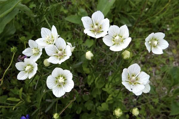 Белозор болотный  - ботаническое описание и применение в народной медицине