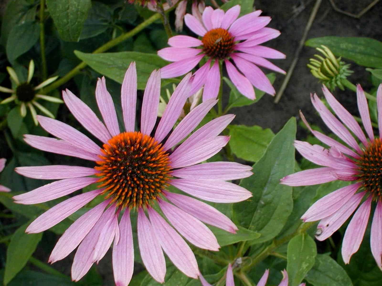 Эхинацея пурпурная: целебное действие и применение