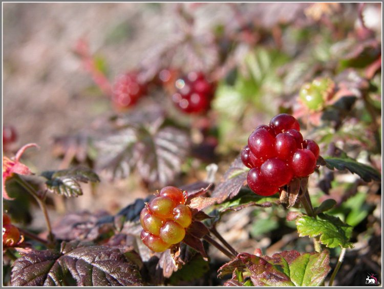 Княженика — полезные свойства и калорийность из огорода