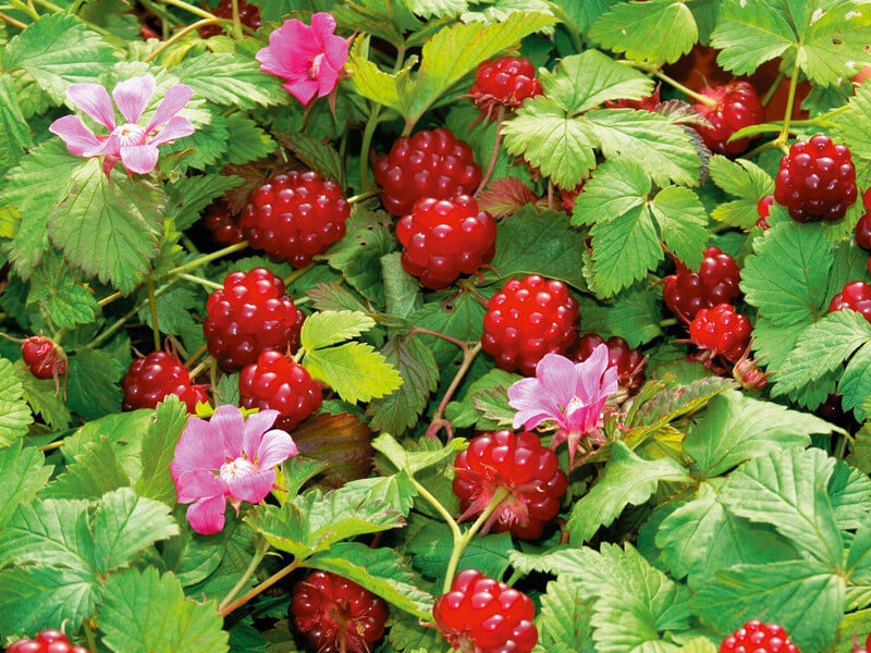 Княженика — арктическая ягода