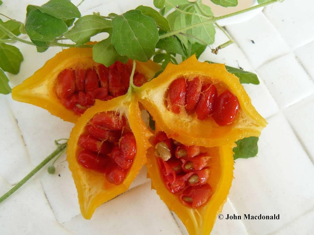 Удивительные полезные и лечебные свойства момордики, их влияние на здоровье человека и интересные рецепты с горькой дыней