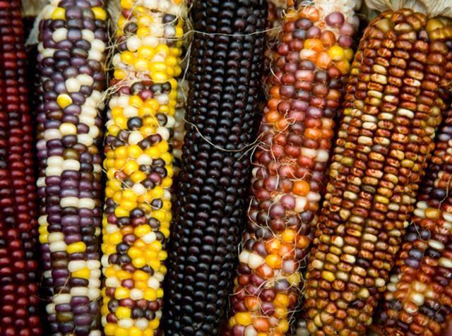 Польза и вред вареной кукурузы. калорийность и состав