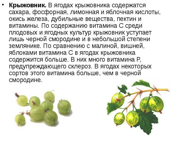 Польза крыжовника для организма человека и уход за ягодой