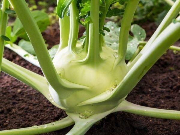 Польза и вред кольраби: состав, лечебные рецепты, при похудении