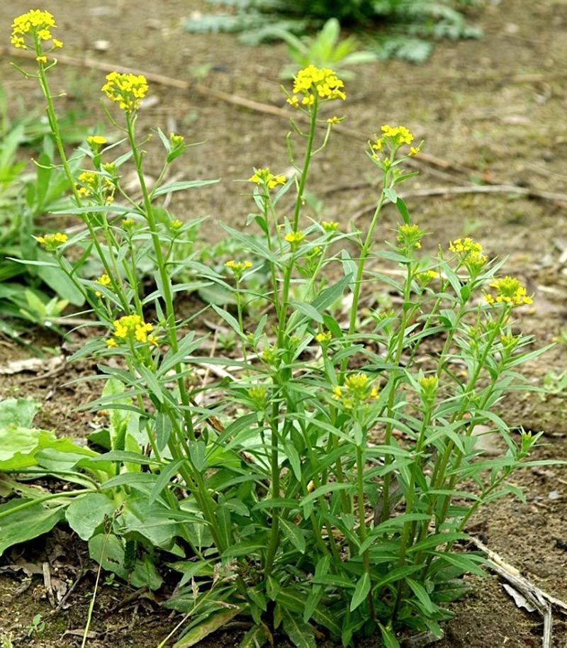 Трава желтушник: лечебные свойства, состав и применение