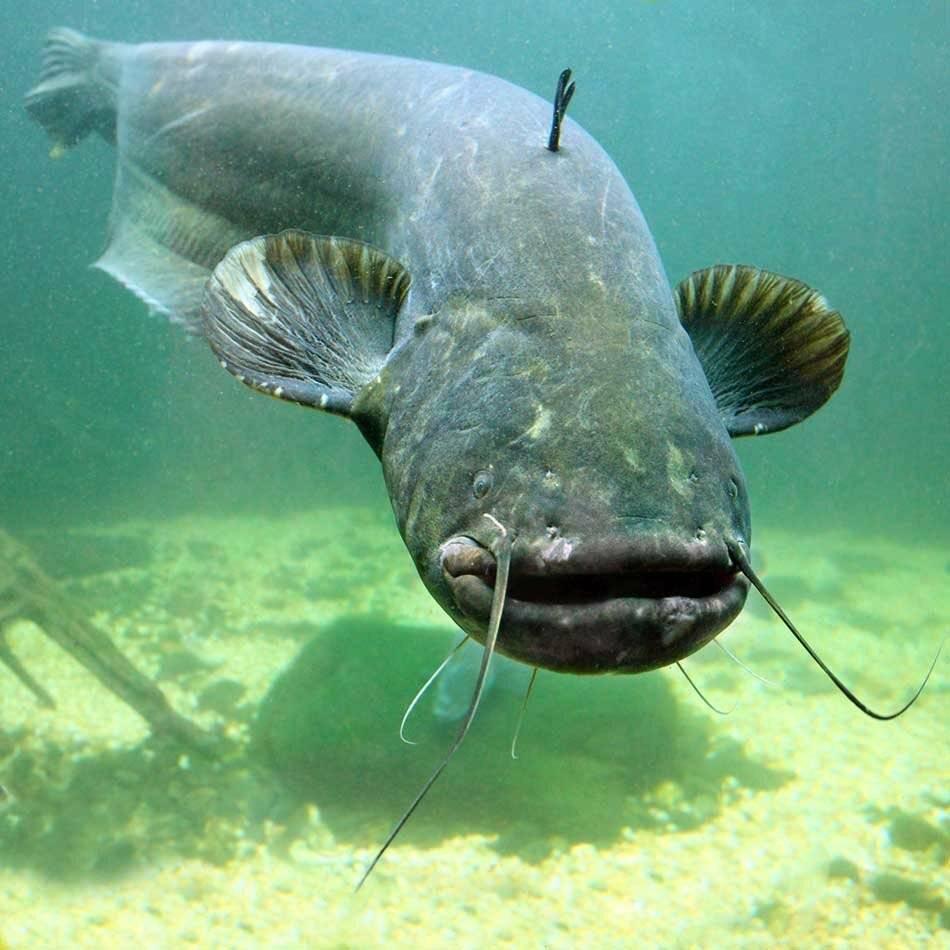 Польза сома: 125 фото рыбы, видео приготовления, польза и вред мяса сома