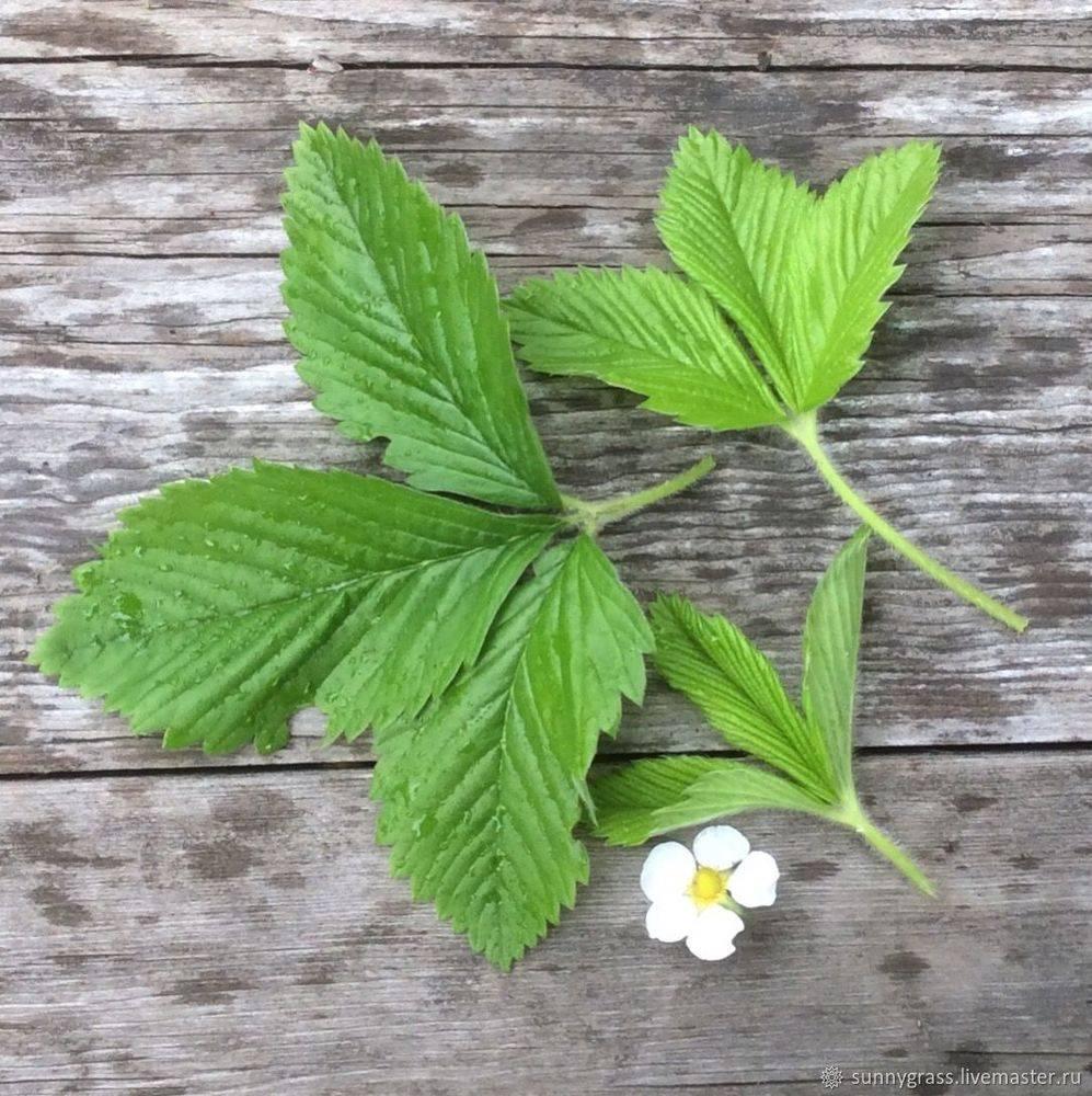 Лечебные свойства и противопоказания листьев земляники лесной