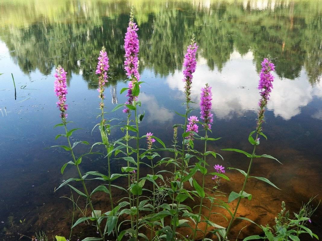 Дербенник иволистный – выращивание и уход в открытом грунте