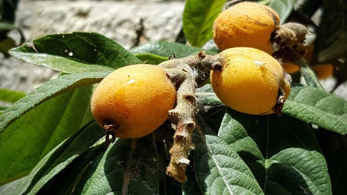 Польза и вред фрукта мушмула