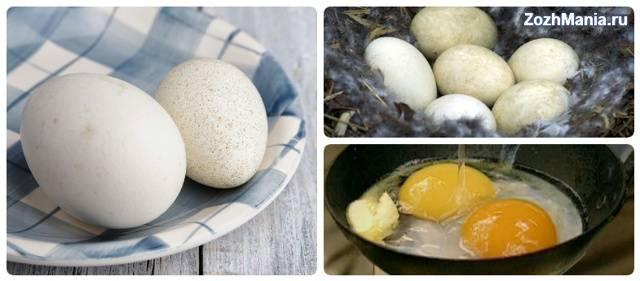 Можно ли есть гусиные яйца: польза и вред для нашего организма