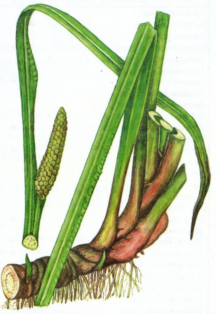 Лечебные свойства корня аира, способы приготовления и использования