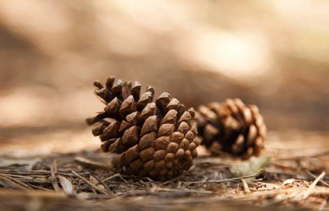 Лечебные свойства сосновых шишек и список противопоказаний