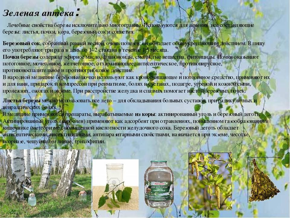Листья березы: лечебные свойства, способы применения и противопоказания