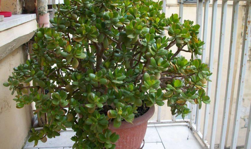Толстянка (денежное дерево) — лечебные свойства и противопоказания
