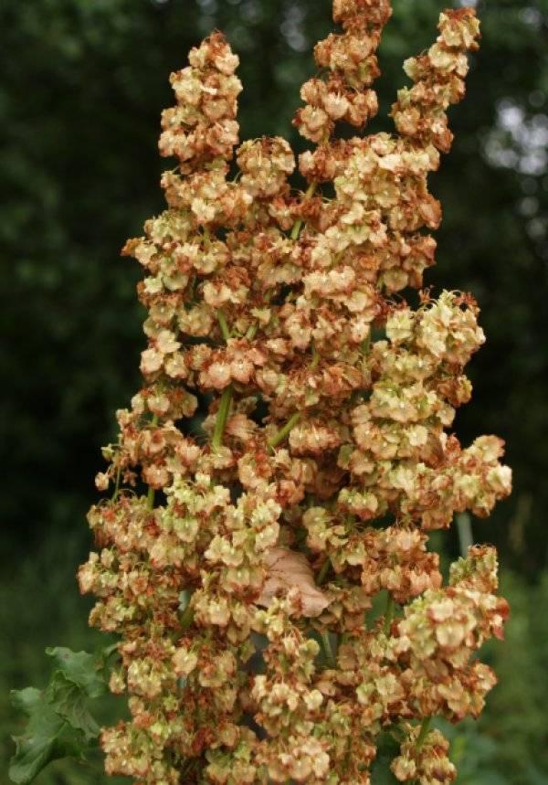 Польза и вред дикой армянской травы. лечебные свойства и противопоказания конского щавеля