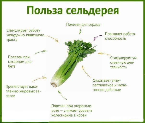 Сельдерей: полезные свойства, противопоказания, польза и вред