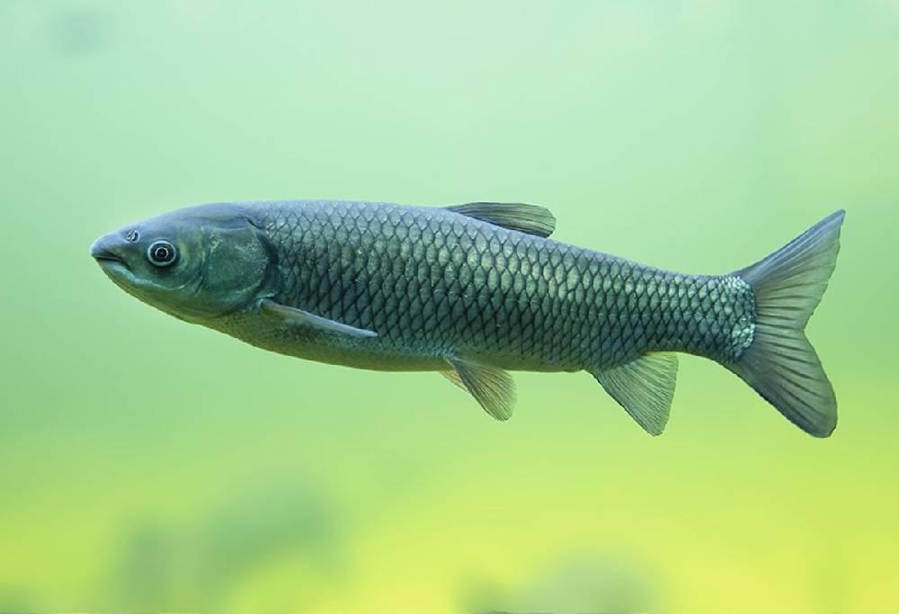 Рыба белый амур: польза и вред