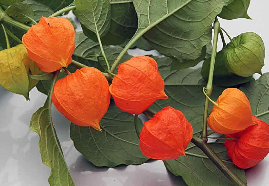 Изящные плоды физалиса, обладающие полезными свойствами: состав, рекомендации по применению и противопоказания