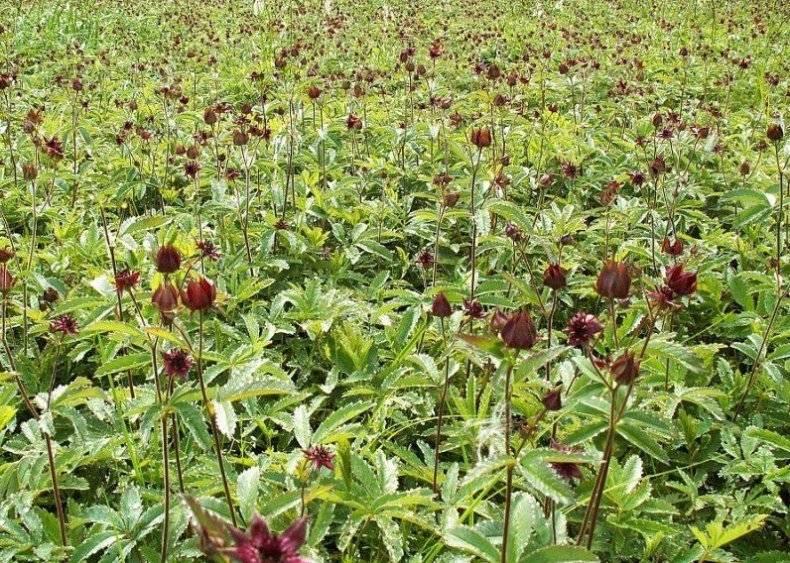 Трава сабельник болотный: от каких болезней, рецепты приготовления, полезные свойства и противопоказания